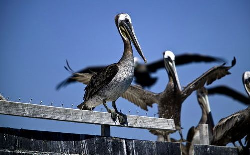 burung pelican 02