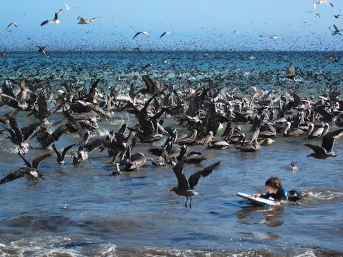 burung pelican 03